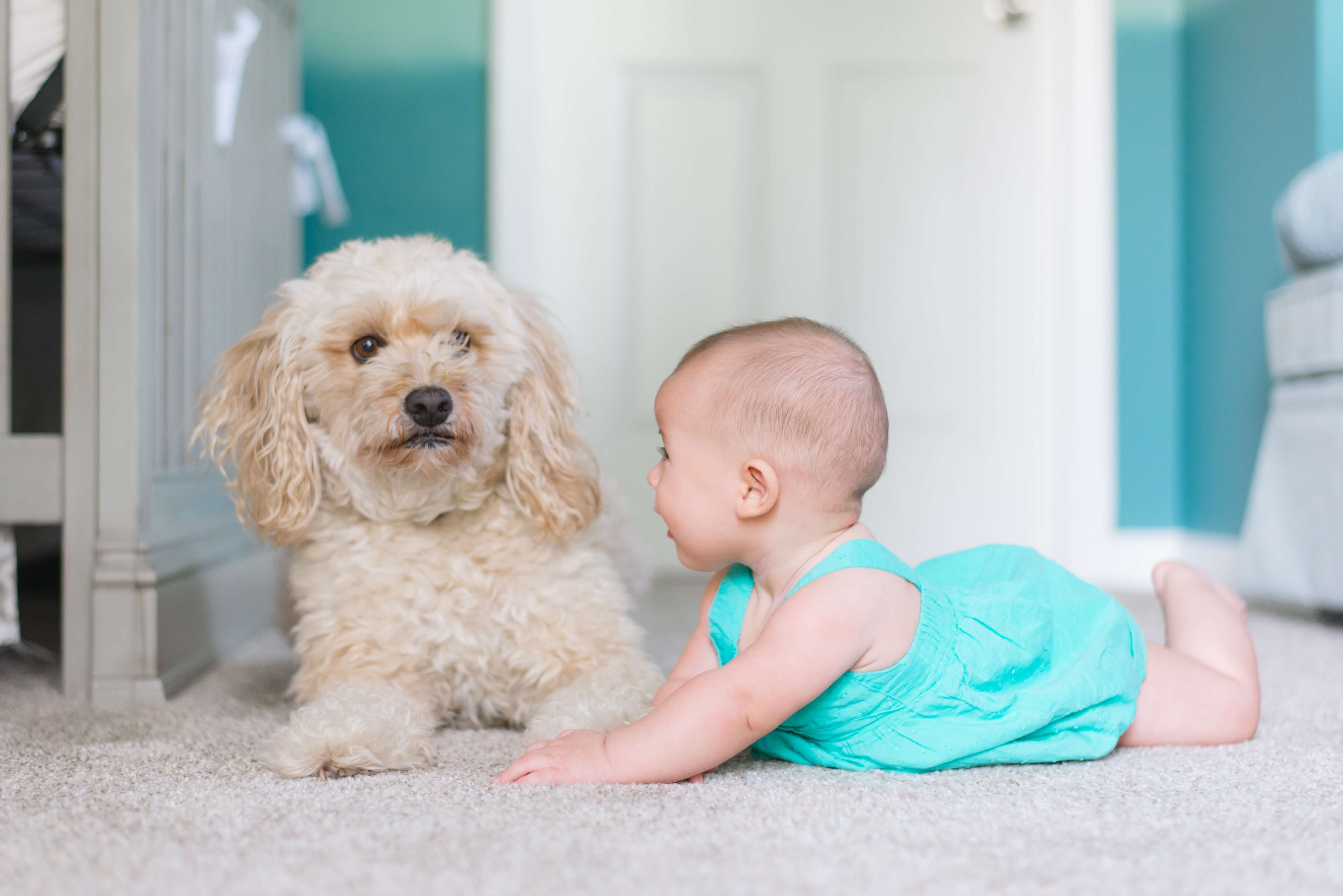 carpets cleaned by chem-dry's pet urine removal treatment in rancho cucamonga